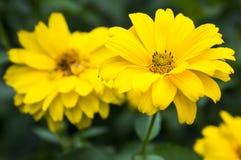 Heliopsishelianthoides gulnar högt trädgårds- dekorativa blommor i blom Royaltyfria Foton