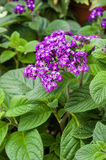 Heliotrope flower blooming purple Royalty Free Stock Photo