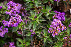 Heliotrope flowers in the garden Royalty Free Stock Photos