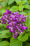 Heliotrope flowers with green leaves Stock Image