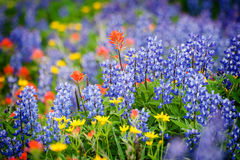 Heliotrope Ridge Wildflowers. Royalty Free Stock Photos