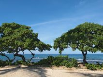 Heliotrope trees ( Tournefortia argentea) on the Hawaiian beach Royalty Free Stock Photo