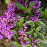 Heliotropische Blumen im Garten Lizenzfreies Stockfoto