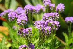 Heliotropium amplexicaule in tuin Stock Afbeelding