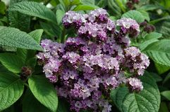Heliotropium arborescens Royalty Free Stock Images