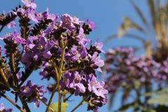 Heliotropium arborescens purpere bloemen in de tuin stock foto's
