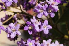 Heliotropium arborescens purple flowers in the garden. In Spring Royalty Free Stock Image