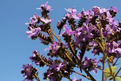 Heliotropium arborescens purple flowers in the garden. In Spring Royalty Free Stock Photo