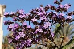 Heliotropium arborescens purple flowers in the garden. In Spring Royalty Free Stock Photos