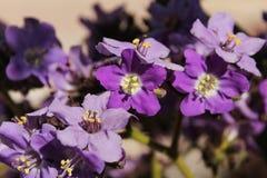 Heliotropium arborescens purple flowers in the garden. In Spring Stock Photo