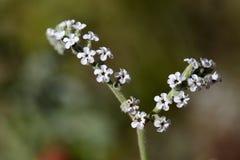 Heliotropium cinerascens royalty free stock photo