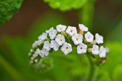 Heliotropium indicum Stock Photography
