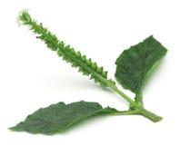 Heliotropium indicum or Medicinal Hatishura plant Royalty Free Stock Image