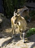 Heliped goat cloven-hoofed mammal argali mountain goat Himalaya Tibet symbol. A rare species of mountain wild horned goat markhor is listed in the red book of Stock Photos