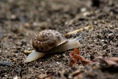 Helix. The snail is crawling on the ground Royalty Free Stock Photo