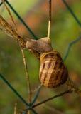 Helix aspersa - Garden snail, climbing Royalty Free Stock Image
