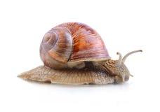 Helix Aspersa snail Royalty Free Stock Photography