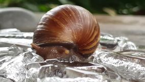 Helix pomatia also Roman snail stock video footage