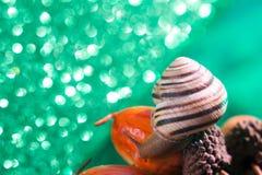 Helix pomatia also Roman snail, Burgundy snail, , air-breathing land snail, a terrestrial pulmonate gastropod mollusk in. Helix pomatia also Roman snail royalty free stock photos