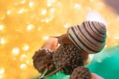 Helix pomatia also Roman snail, Burgundy snail, , air-breathing land snail, a terrestrial pulmonate gastropod mollusk in. Helix pomatia also Roman snail royalty free stock photo