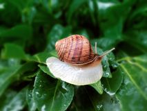 Helix pomatia also Roman snail, Burgundy snail, edible snail or escargot, is a species of large, edible, air-breathing stock image