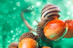 Helix pomatia also Roman snail, Burgundy snail, , air-breathing land snail, a terrestrial pulmonate gastropod mollusk in. Helix pomatia also Roman snail stock image