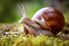 Helix pomatia also Roman snail, Burgundy snail. Edible snail or escargot, is a species of large, edible, air-breathing land snail, a terrestrial pulmonate royalty free stock images