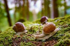 Helix pomatia also Roman snail, Burgundy snail Royalty Free Stock Photography