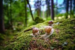Helix pomatia also Roman snail, Burgundy snail Stock Photography