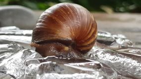 Helix pomatia also Roman snail stock video