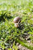Helix pomatia (Burgundy snail, Roman snail, edible snail, escargot) Stock Images