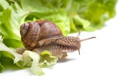 Helix pomatia, Burgundy snail Stock Photos