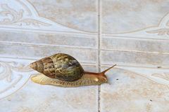 Helix pomatia, common names the Burgundy snail or Stock Photography