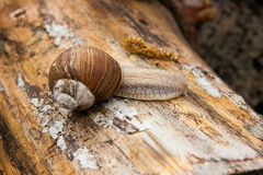 Helix pomatia, common names the Burgundy snail, Roman snail, edi Stock Images
