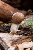 Helix pomatia, common names the Burgundy snail, Roman snail, edi Stock Photography