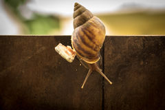 Helix pomatia, common names the Burgundy snail, Roman snail, edi Royalty Free Stock Photo