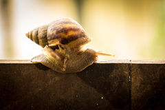 Helix pomatia, common names the Burgundy snail, Roman snail, edi Royalty Free Stock Image