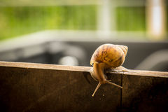 Helix pomatia, common names the Burgundy snail, Roman snail, edi Royalty Free Stock Images