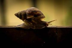 Helix pomatia, common names the Burgundy snail, Roman snail, edi Royalty Free Stock Images