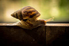 Helix pomatia, common names the Burgundy snail, Roman snail, edi Stock Photo