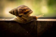 Helix pomatia, common names the Burgundy snail, Roman snail, edi Stock Photo