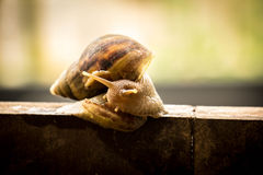 Helix pomatia, common names the Burgundy snail, Roman snail, edi Stock Image