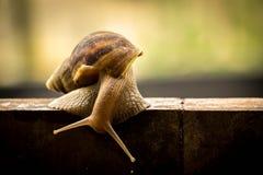 Helix pomatia, common names the Burgundy snail, Roman snail, edi Royalty Free Stock Photos