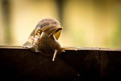 Helix pomatia, common names the Burgundy snail, Roman snail, edi Royalty Free Stock Photography