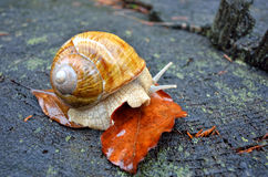 Helix pomatia crawler snail Royalty Free Stock Photos