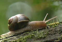 (Helix pomatia) edible snail Stock Photo