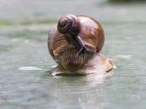 Helix pomatia edible snail with fruticicola fruticum on shell Royalty Free Stock Photo