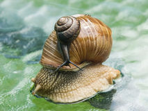 Helix pomatia edible snail with fruticicola fruticum on shell Royalty Free Stock Images