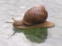 Helix pomatia edible snail on a glass table Stock Photography