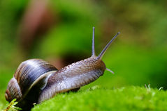 (Helix pomatia) edible snail macro Stock Photo